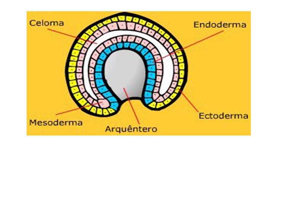 CELOMA Na região endodérmica denominada de mesentoderme formam-se duas bolsas celulares laterais que se soltam e formam o folheto mesoderme.