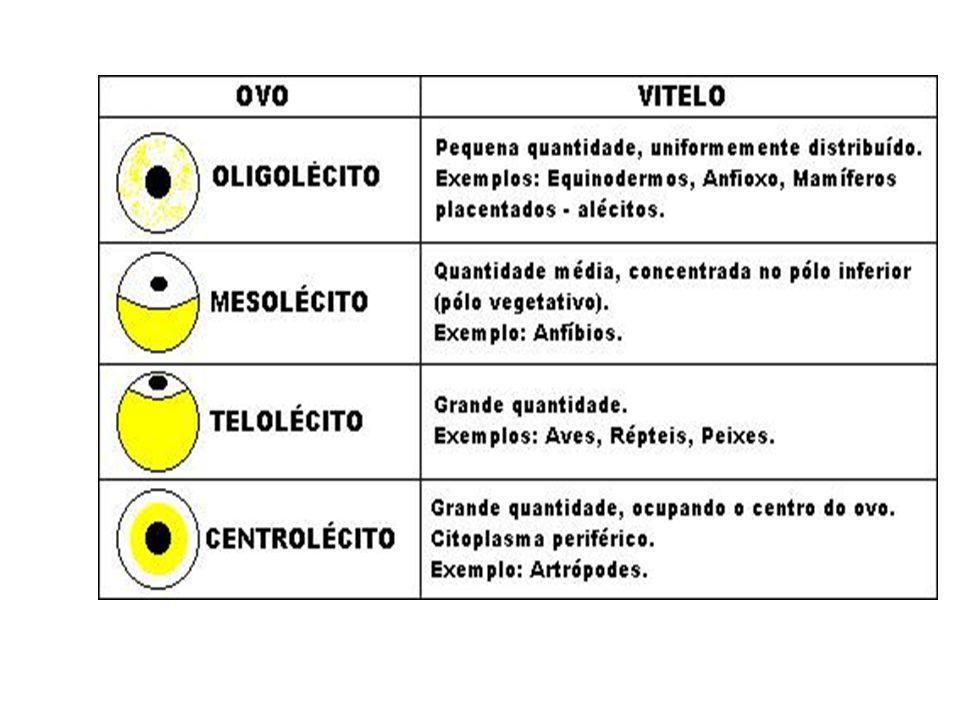 Segmentação Tipos de Segmentação Holoblástica ou total: a segmentação envolve todo o ovo.
