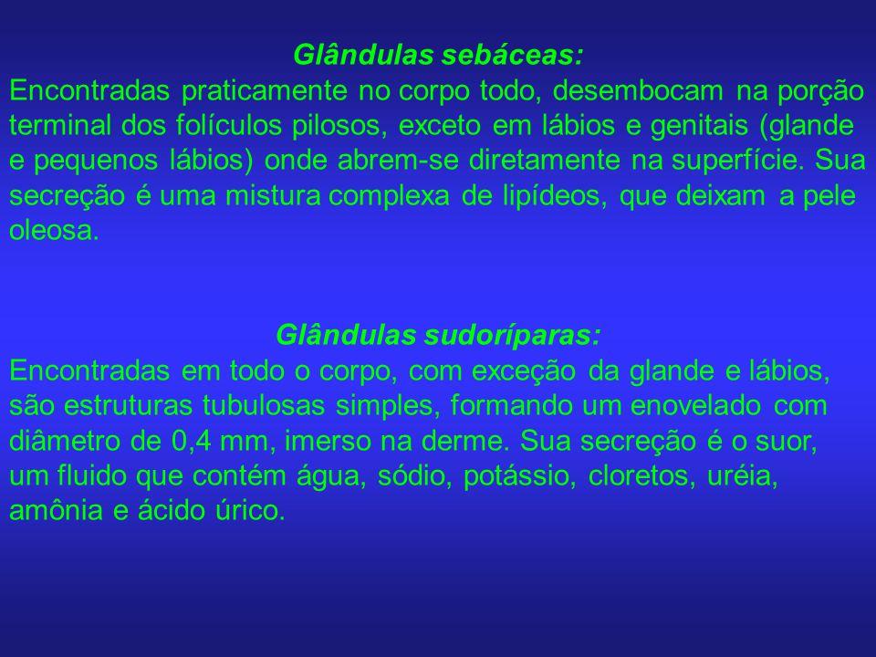 Glândulas sebáceas: Encontradas praticamente no corpo todo, desembocam na porção terminal dos folículos pilosos, exceto em lábios e genitais (glande e