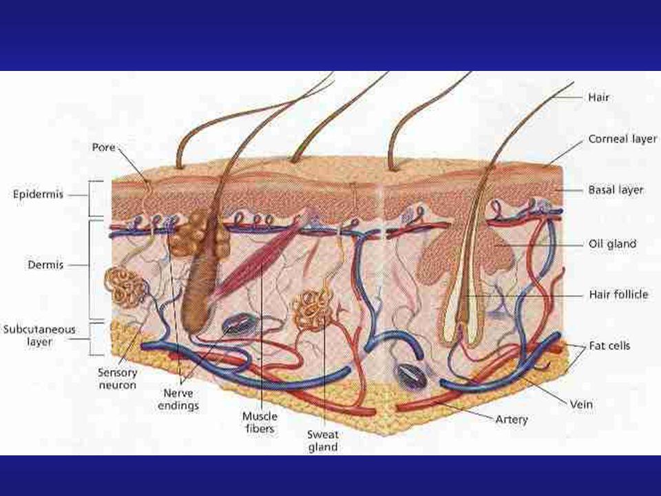 A pele é o maior órgão do corpo humano em extensão e volume, e por permanecer em constante contato com o meio exterior está sujeita à uma série de agressões.