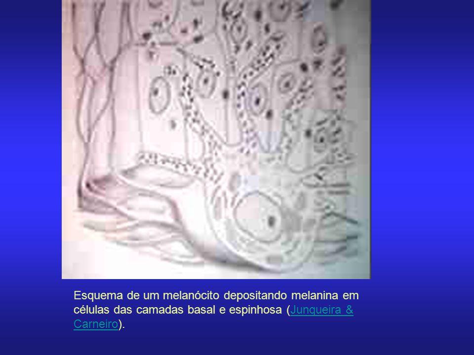 Esquema de um melanócito depositando melanina em células das camadas basal e espinhosa (Junqueira & Carneiro).Junqueira & Carneiro