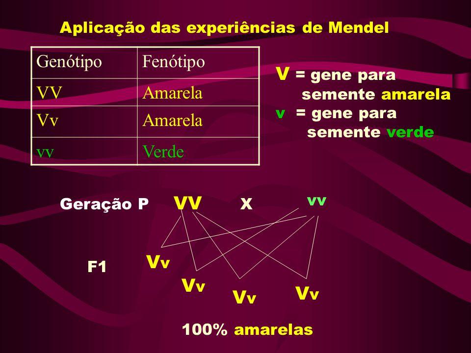 Aplicação das experiências de Mendel GenótipoFenótipo VVAmarela VvAmarela vvVerde Geração P VV X vv F1 VvVv VvVv VvVv VvVv 100% amarelas V = gene para