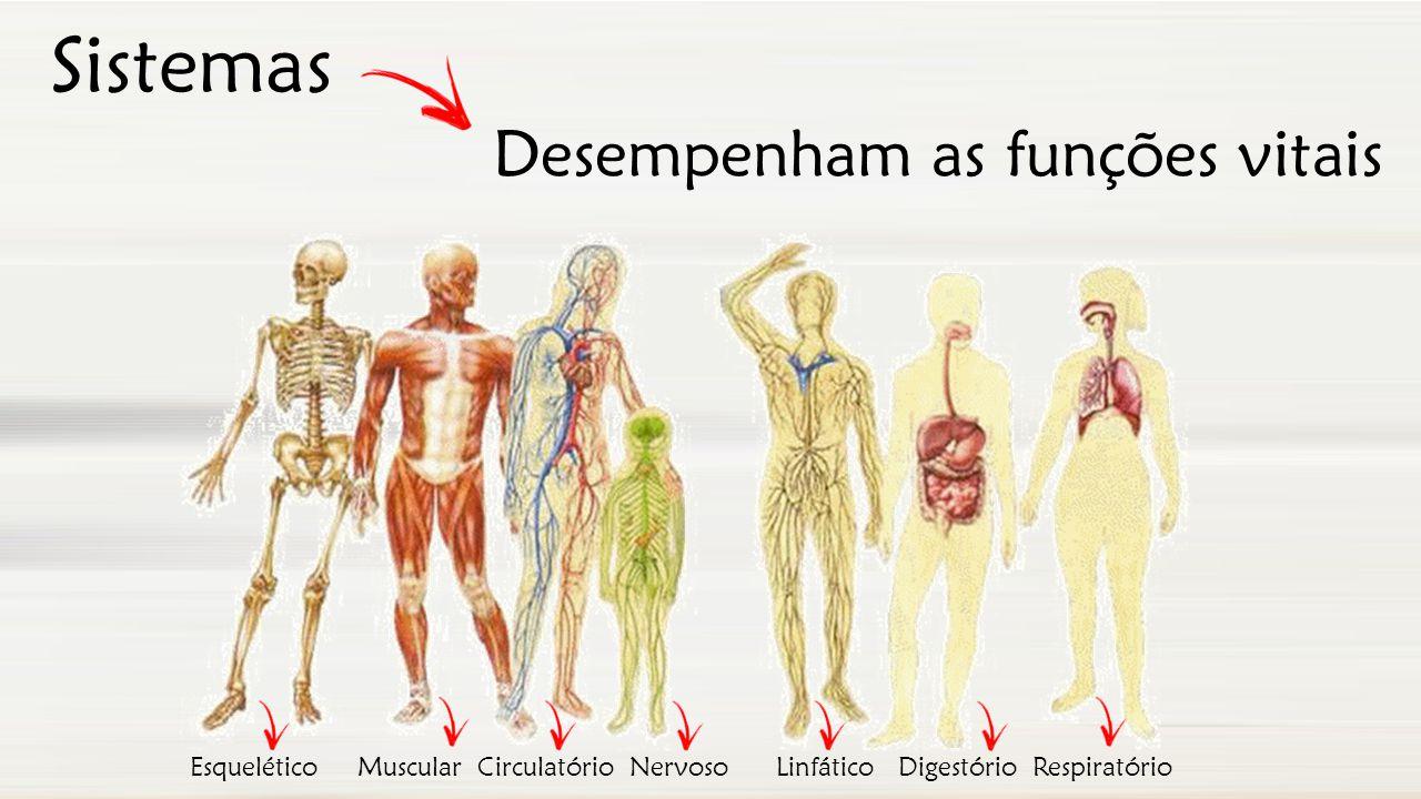Sistemas Esquelético Muscular Circulatório Nervoso Linfático Digestório Respiratório Desempenham as funções vitais