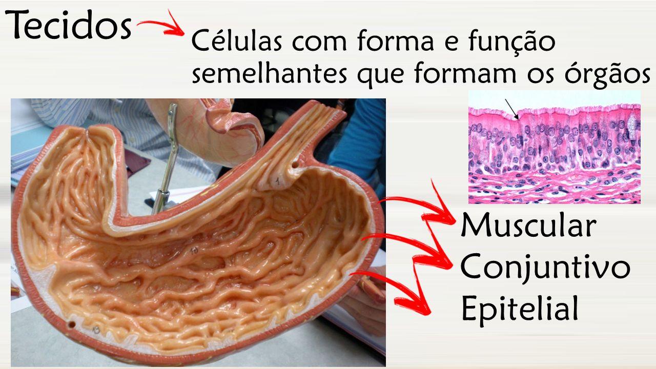Tecidos Muscular Conjuntivo Epitelial Células com forma e função semelhantes que formam os órgãos