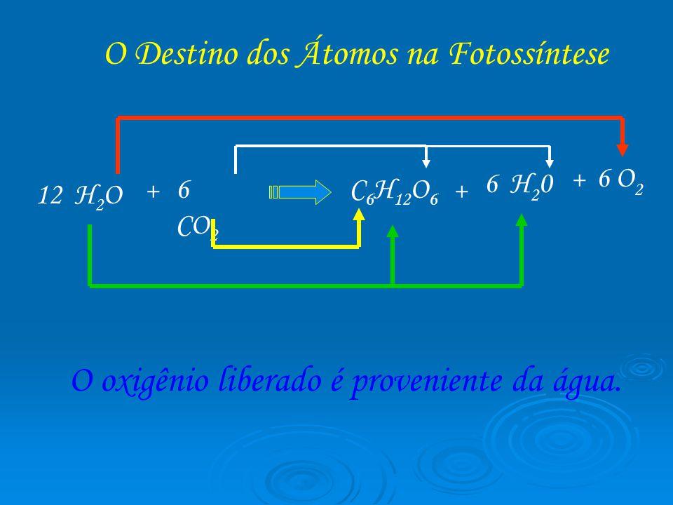 12 H 2 O + 6 CO 2 C 6 H 12 O 6 + 6 H 2 0 + 6 O 2 O Destino dos Átomos na Fotossíntese O oxigênio liberado é proveniente da água.