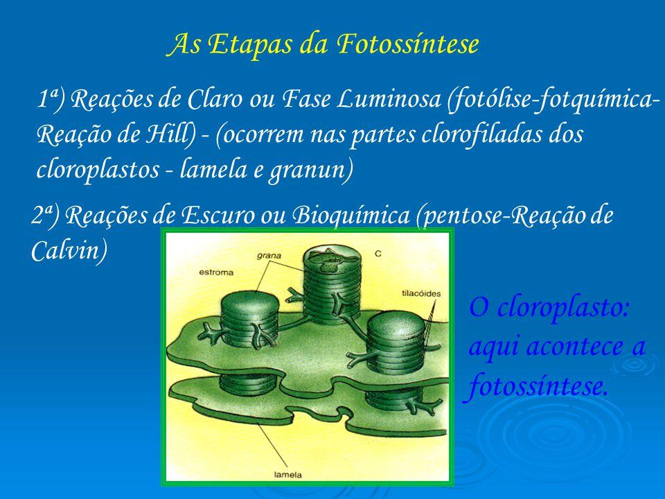 As Etapas da Fotossíntese 1ª) Reações de Claro ou Fase Luminosa (fotólise-fotquímica- Reação de Hill) - (ocorrem nas partes clorofiladas dos cloroplas