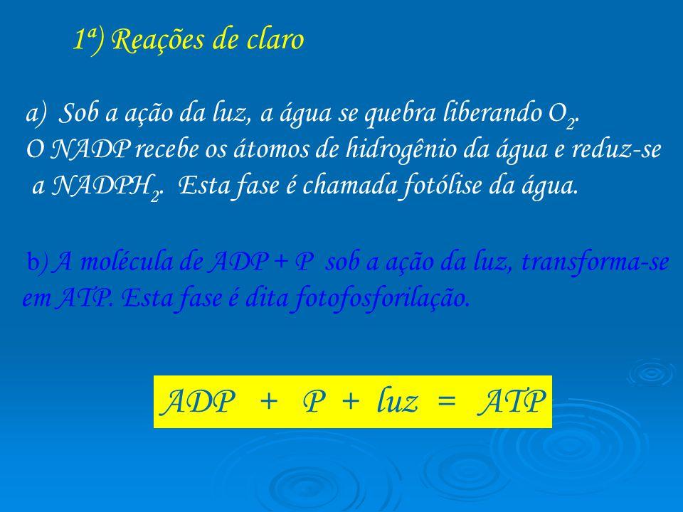 1ª) Reações de claro b ) A molécula de ADP + P sob a ação da luz, transforma-se em ATP. Esta fase é dita fotofosforilação. a)Sob a ação da luz, a água