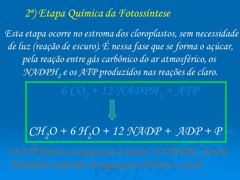 2ª) Etapa Química da Fotossíntese Esta etapa ocorre no estroma dos cloroplastos, sem necessidade de luz (reação de escuro). É nessa fase que se forma