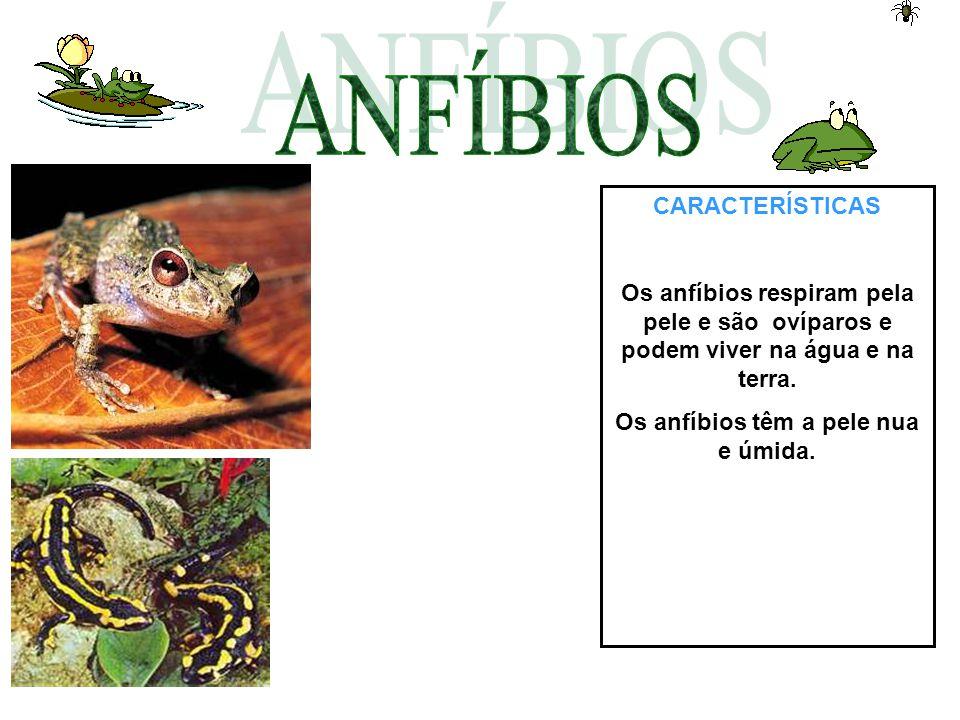 CARACTERÍSTICAS Os anfíbios respiram pela pele e são ovíparos e podem viver na água e na terra. Os anfíbios têm a pele nua e úmida.