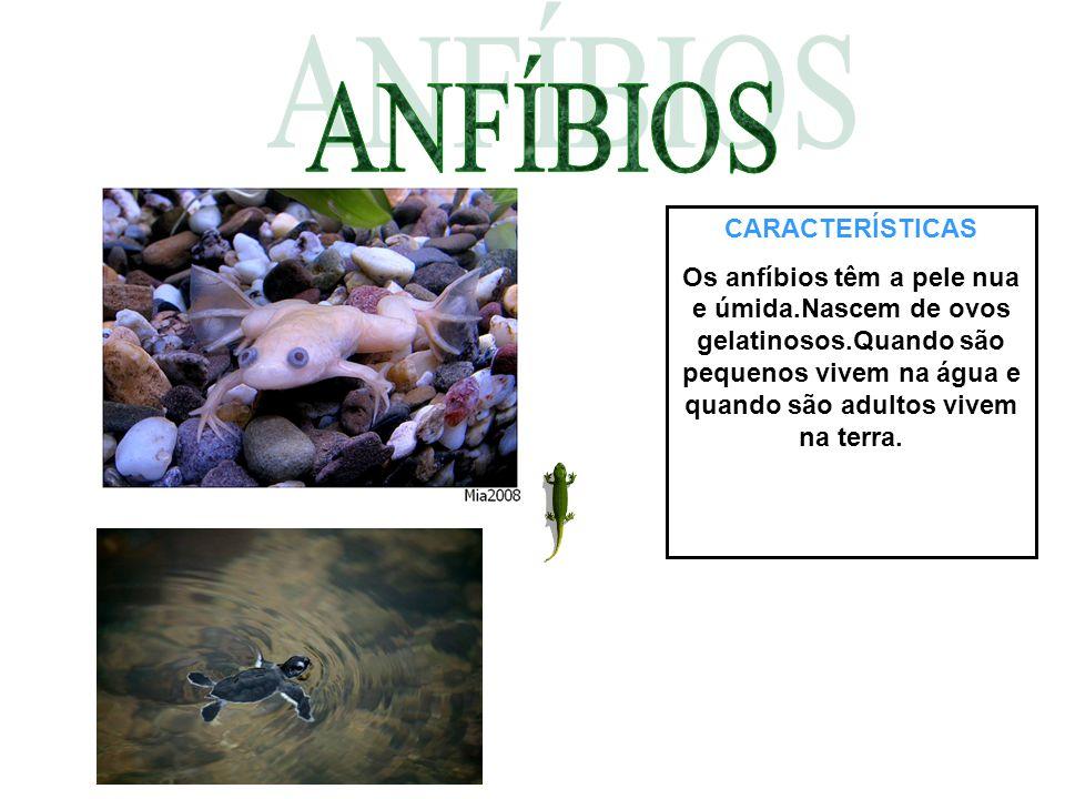 CARACTERÍSTICAS Os anfíbios têm a pele nua e úmida.Nascem de ovos gelatinosos.Quando são pequenos vivem na água e quando são adultos vivem na terra.