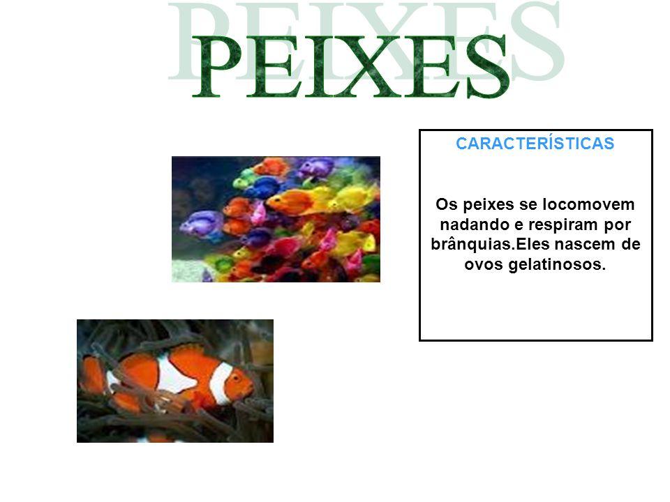 CARACTERÍSTICAS Os peixes se locomovem nadando e respiram por brânquias.Eles nascem de ovos gelatinosos.