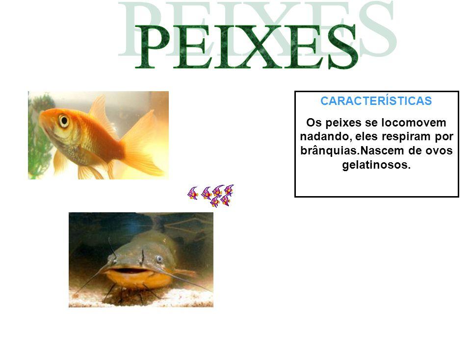 CARACTERÍSTICAS Os peixes se locomovem nadando, eles respiram por brânquias.Nascem de ovos gelatinosos.