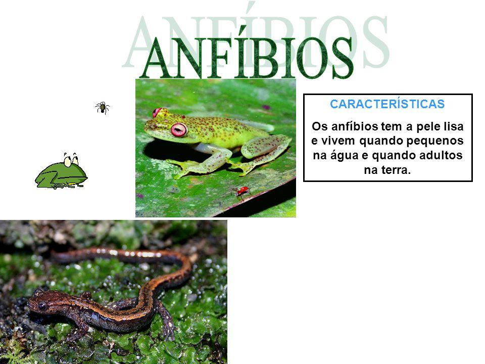 CARACTERÍSTICAS Os anfíbios tem a pele lisa e vivem quando pequenos na água e quando adultos na terra.