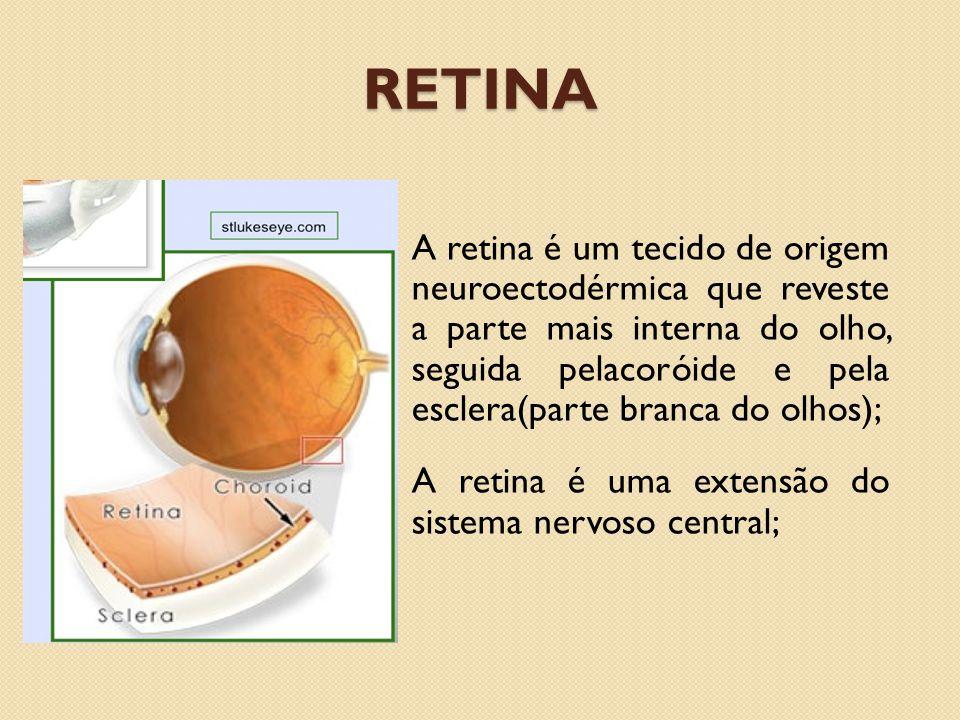 O nervo óptico estende-se do centro do cérebro até próximo do centro da retina e se ramifica, a área central da retina, macula, contém a maior densidade de nervos sensíveis a luz e que produz melhor resolução visual.