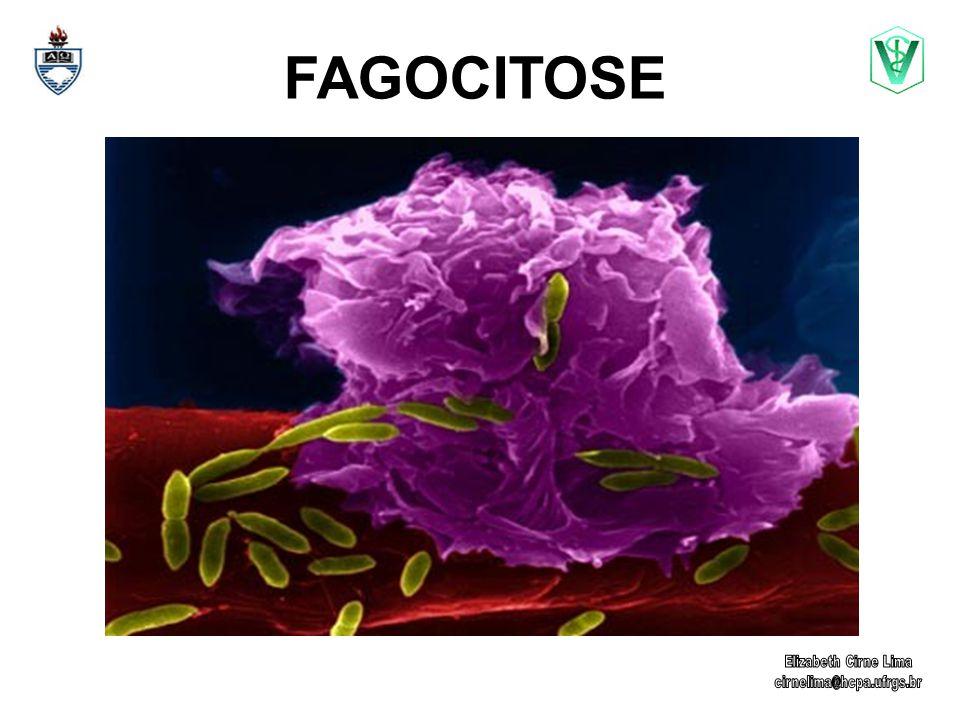 Macrófagos (M ) e neutrófilos Fagócitos profissionais Fagocitose é o processo através do qual células englobam partículas ou microrganismos.