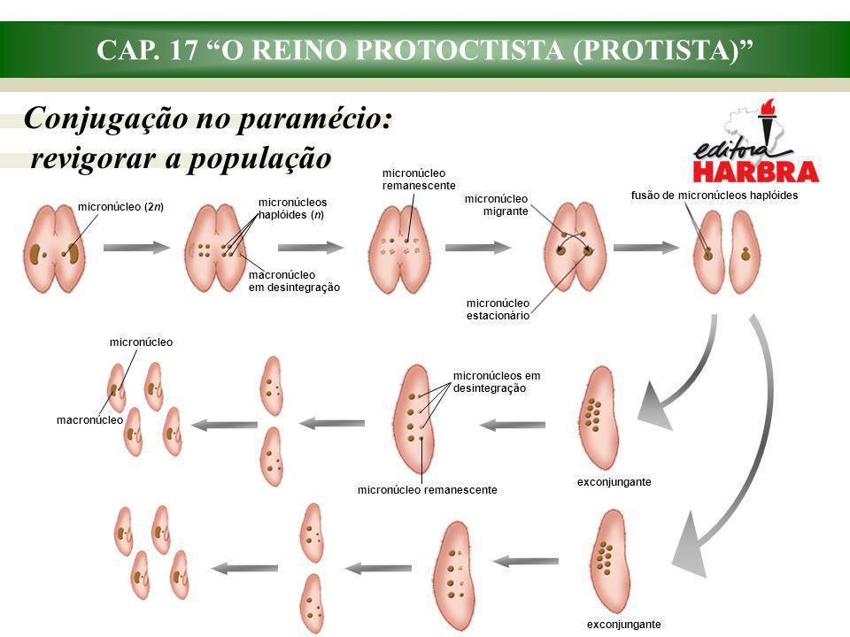 CAP. 17 O REINO PROTOCTISTA (PROTISTA) Conjugação no paramécio: revigorar a população fusão de micronúcleos haplóides micronúcleo estacionário micronú