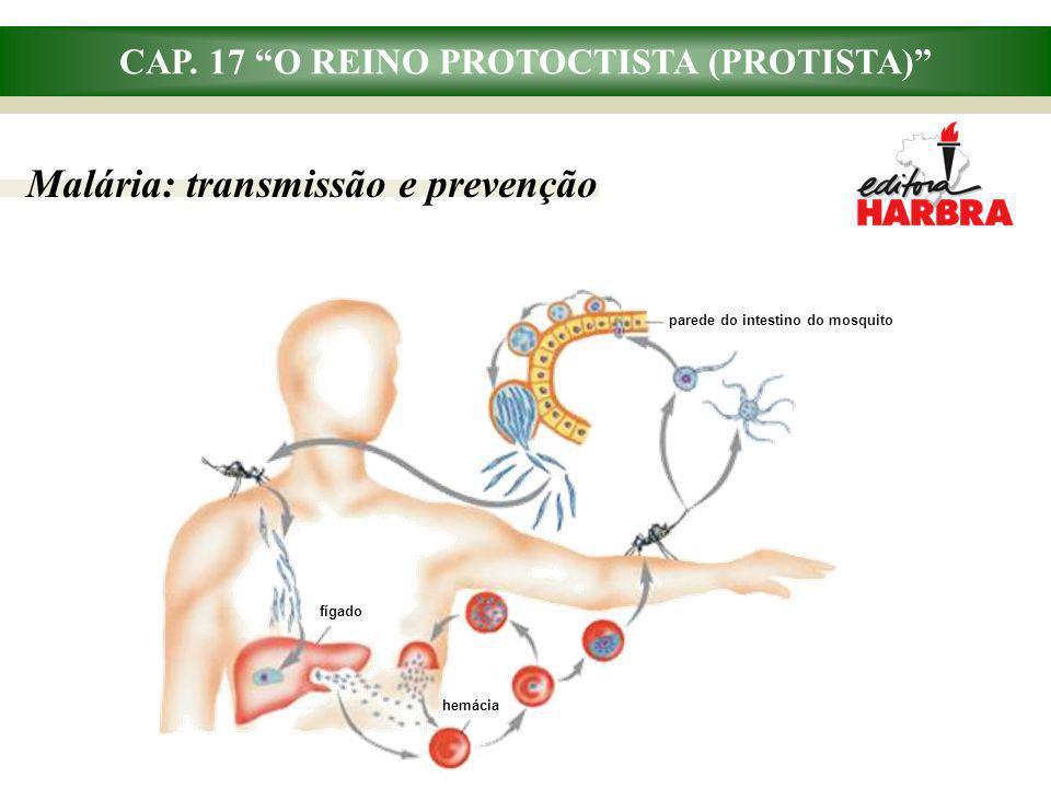CAP. 17 O REINO PROTOCTISTA (PROTISTA) Malária: transmissão e prevenção parede do intestino do mosquito fígado hemácia
