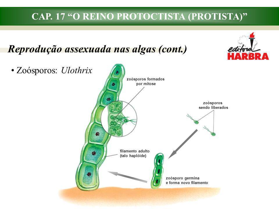 filamento adulto (talo haplóide) zoósporos formados por mitose CAP. 17 O REINO PROTOCTISTA (PROTISTA) Reprodução assexuada nas algas (cont.) Zoósporos