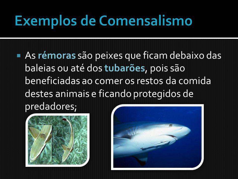 As rémoras são peixes que ficam debaixo das baleias ou até dos tubarões, pois são beneficiadas ao comer os restos da comida destes animais e ficando p