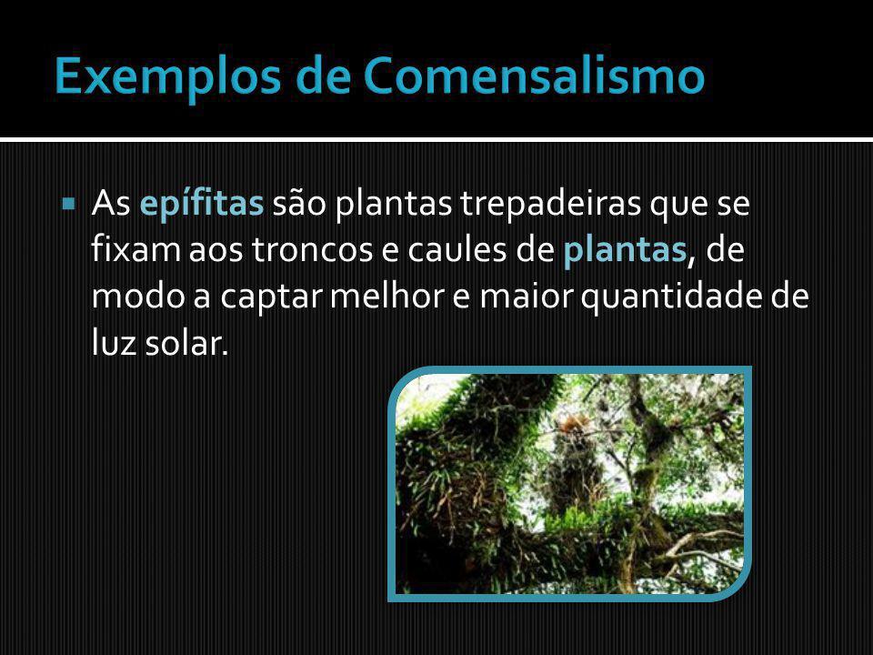 As epífitas são plantas trepadeiras que se fixam aos troncos e caules de plantas, de modo a captar melhor e maior quantidade de luz solar.