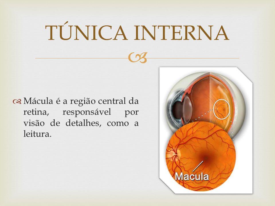 Mácula é a região central da retina, responsável por visão de detalhes, como a leitura. TÚNICA INTERNA