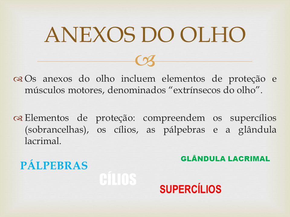 Os anexos do olho incluem elementos de proteção e músculos motores, denominados extrínsecos do olho.
