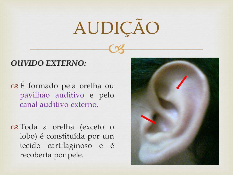 OUVIDO EXTERNO: É formado pela orelha ou pavilhão auditivo e pelo canal auditivo externo. Toda a orelha (exceto o lobo) é constituída por um tecido ca