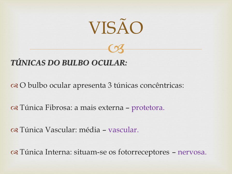 TÚNICAS DO BULBO OCULAR: O bulbo ocular apresenta 3 túnicas concêntricas: Túnica Fibrosa: a mais externa – protetora.