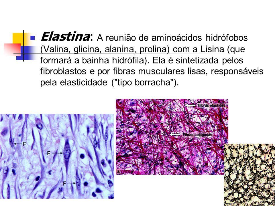 Elastina: A reunião de aminoácidos hidrófobos (Valina, glicina, alanina, prolina) com a Lisina (que formará a bainha hidrófila).