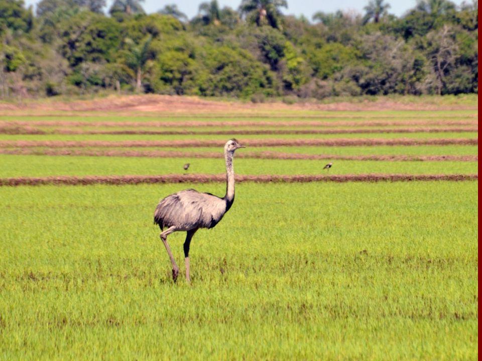 Ciclo do carbono Massa seca de lavoura de arroz: 10 t de grãos + 15 t de palha e raizes.