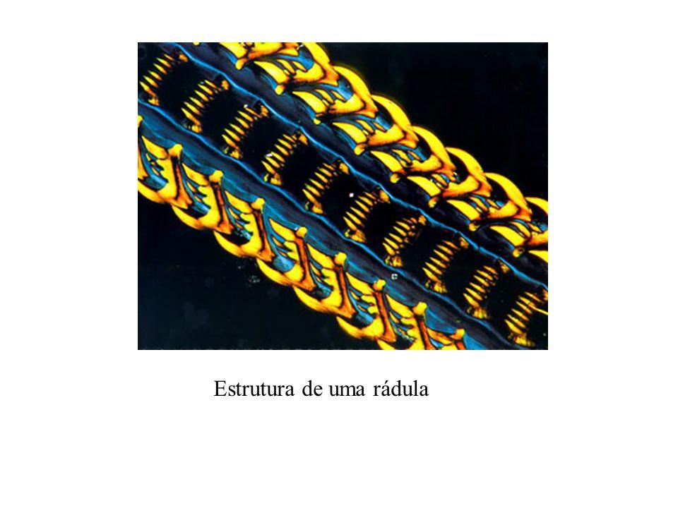 Estrutura de uma rádula