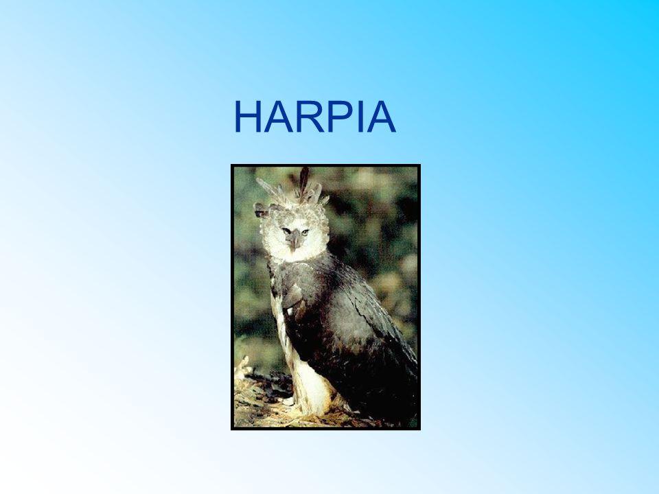 CARACTERÍSTICAS FÍSICAS as garras da harpia são maiores do que das dos ursos cinzentos olhos pequenos longos topetes bicos em formas de gancho ela possui dedos bem fortes e unhas muito afiadas e compridas (com até 7 cm)