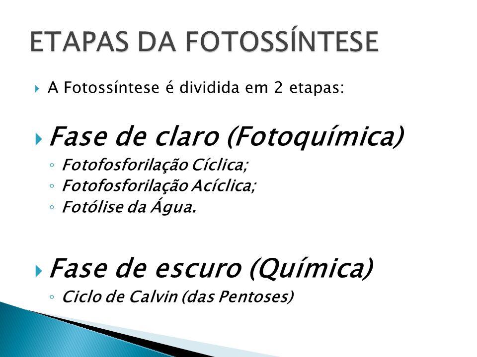 A Fotossíntese é dividida em 2 etapas: Fase de claro (Fotoquímica) Fotofosforilação Cíclica; Fotofosforilação Acíclica; Fotólise da Água. Fase de escu