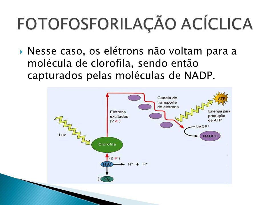 Nesse caso, os elétrons não voltam para a molécula de clorofila, sendo então capturados pelas moléculas de NADP.