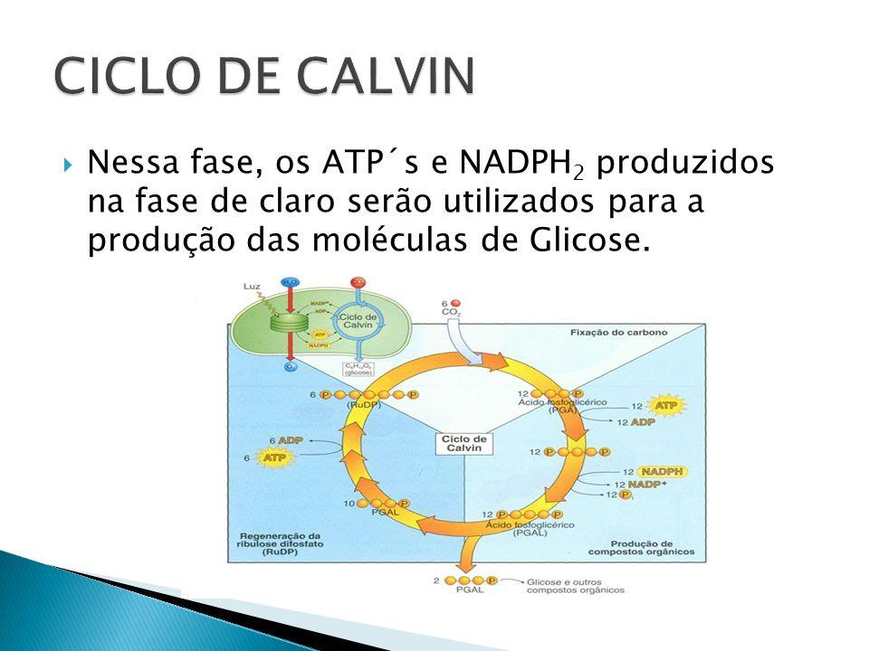 Nessa fase, os ATP´s e NADPH 2 produzidos na fase de claro serão utilizados para a produção das moléculas de Glicose.