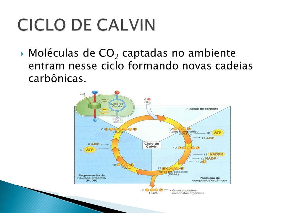 Moléculas de CO 2 captadas no ambiente entram nesse ciclo formando novas cadeias carbônicas.