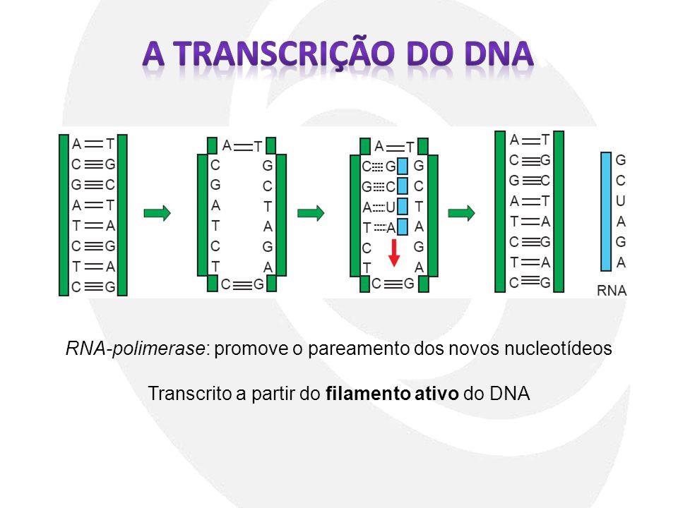 RNA-polimerase: promove o pareamento dos novos nucleotídeos Transcrito a partir do filamento ativo do DNA