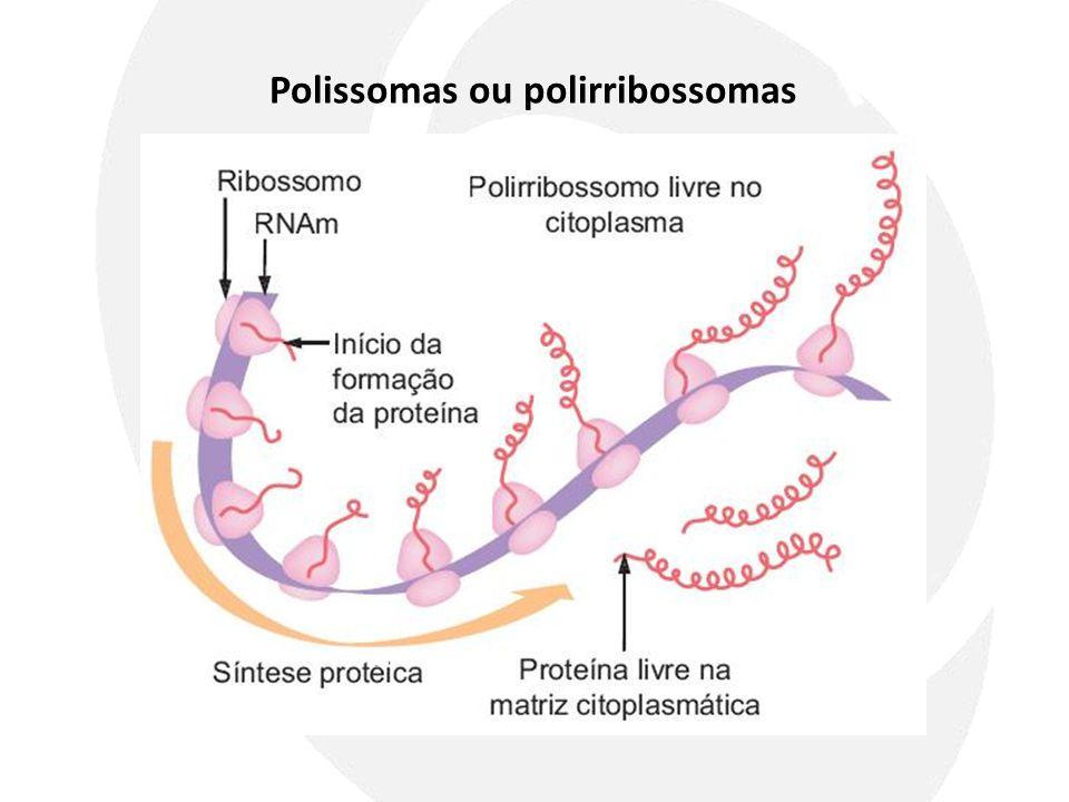 Polissomas ou polirribossomas
