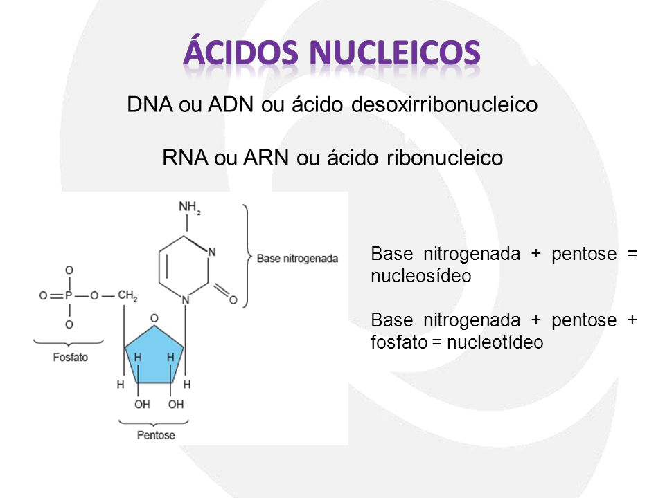 DNA ou ADN ou ácido desoxirribonucleico RNA ou ARN ou ácido ribonucleico Base nitrogenada + pentose = nucleosídeo Base nitrogenada + pentose + fosfato