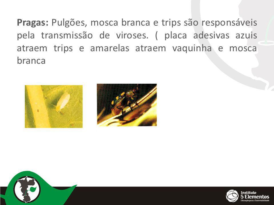 Pragas: Pulgões, mosca branca e trips são responsáveis pela transmissão de viroses. ( placa adesivas azuis atraem trips e amarelas atraem vaquinha e m