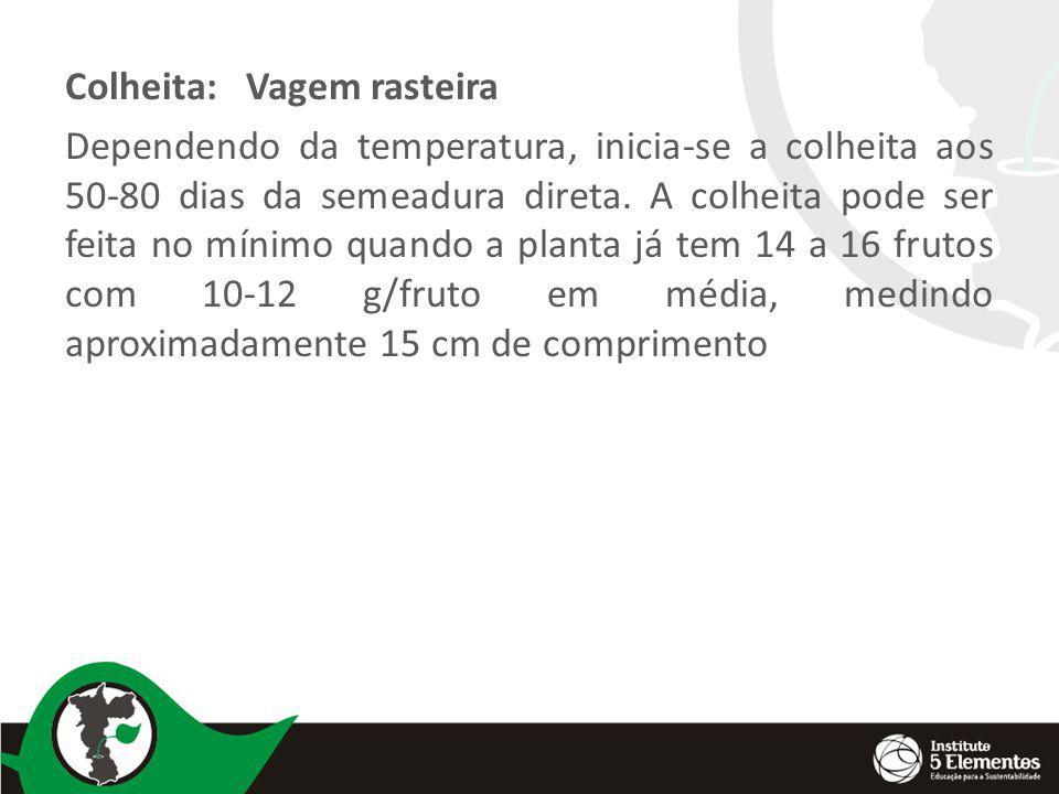 Colheita: Vagem rasteira Dependendo da temperatura, inicia-se a colheita aos 50-80 dias da semeadura direta. A colheita pode ser feita no mínimo quand
