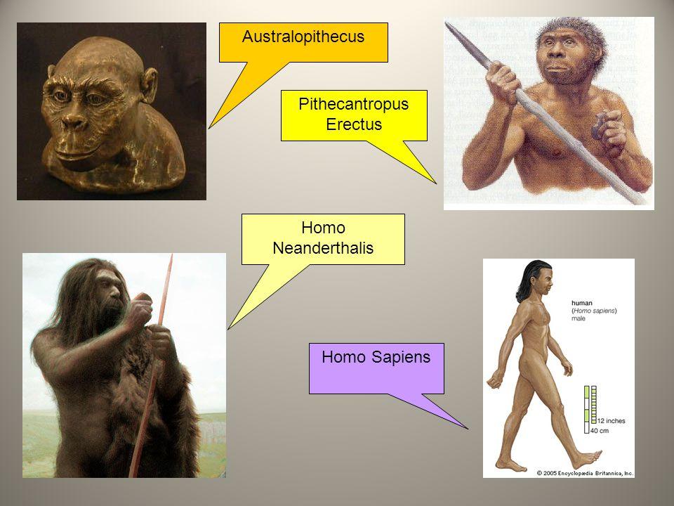 21 Australopithecus Pithecantropus Erectus Homo Neanderthalis Homo Sapiens