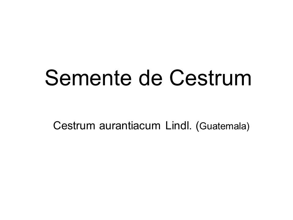 Solanum dulcamara L.S.jasminoides Paxt. S.seaforthianum Andr.