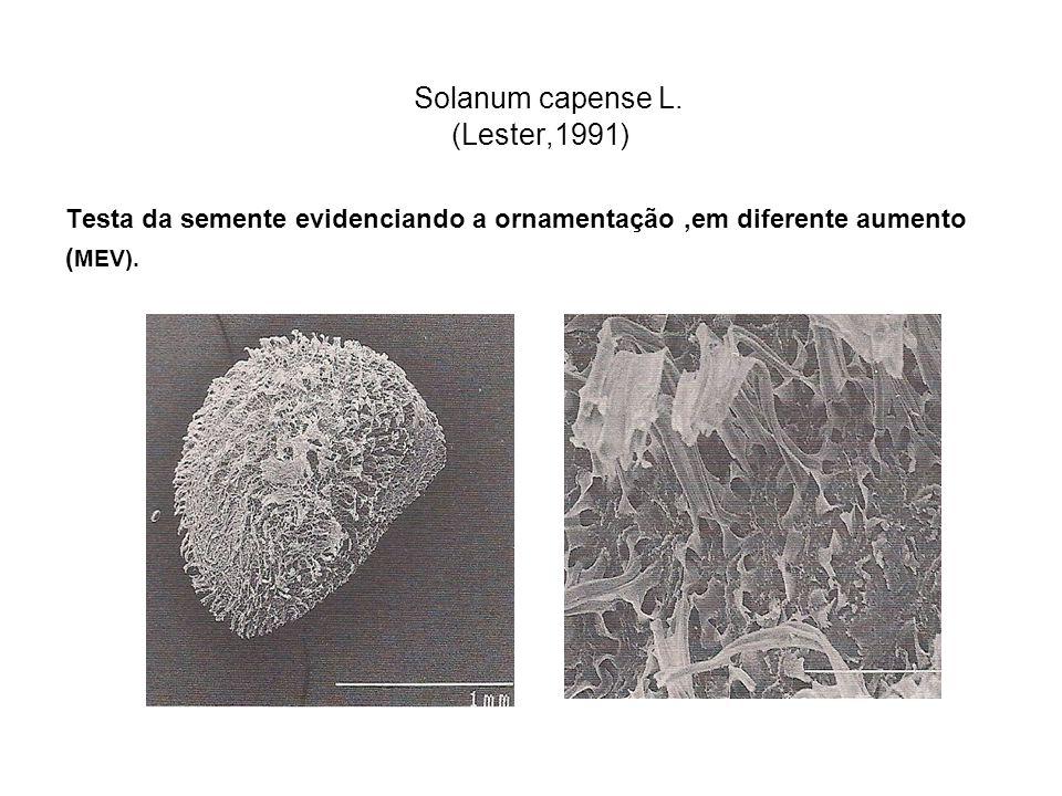 Solanum capense L. (Lester,1991) Testa da semente evidenciando a ornamentação,em diferente aumento ( MEV).
