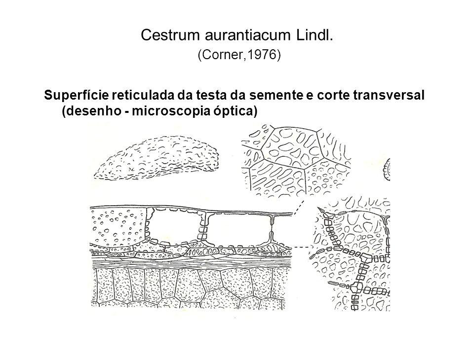 Cestrum aurantiacum Lindl. (Corner,1976) Superfície reticulada da testa da semente e corte transversal (desenho - microscopia óptica)