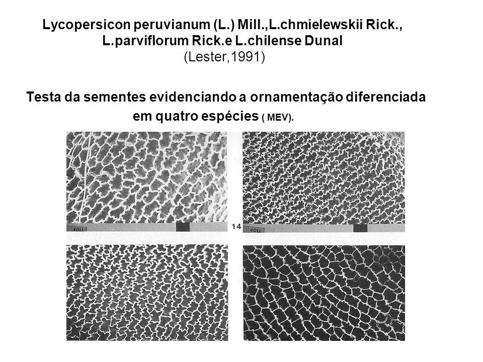 Lycopersicon peruvianum (L.) Mill.,L.chmielewskii Rick., L.parviflorum Rick.e L.chilense Dunal (Lester,1991) Testa da sementes evidenciando a ornamentação diferenciada em quatro espécies ( MEV).