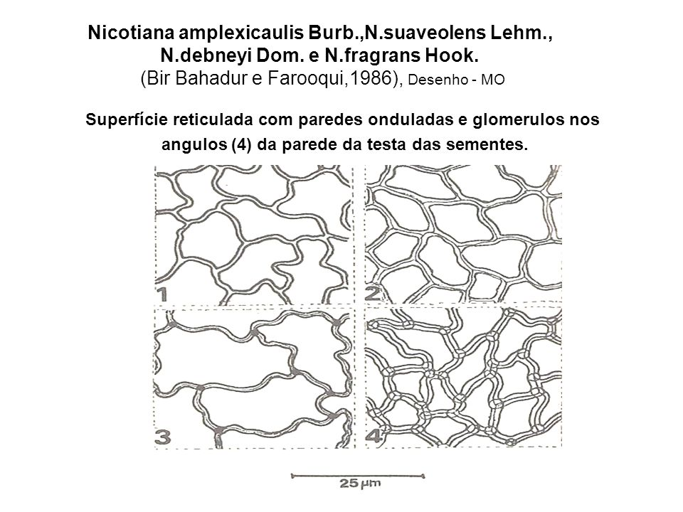 Solanum lycopersicum L.( = Lycopersicon esculentum Mill.) (Lester,1991) Superfície da testa da semente (MEV).