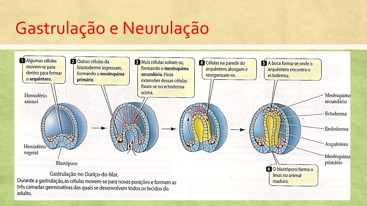 Gastrulação e Neurulação