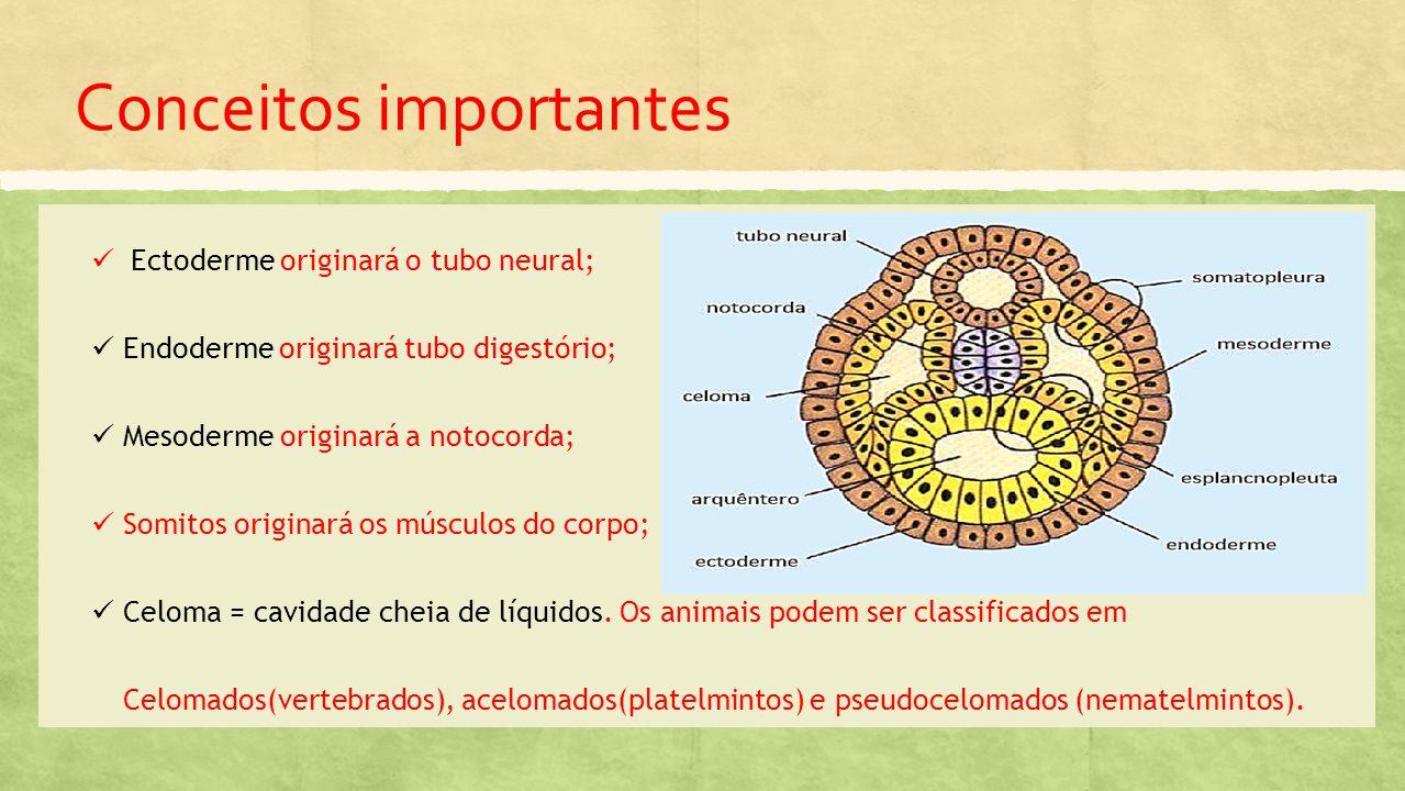 Conceitos importantes Ectoderme originará o tubo neural; Endoderme originará tubo digestório; Mesoderme originará a notocorda; Somitos originará os músculos do corpo; Celoma = cavidade cheia de líquidos.