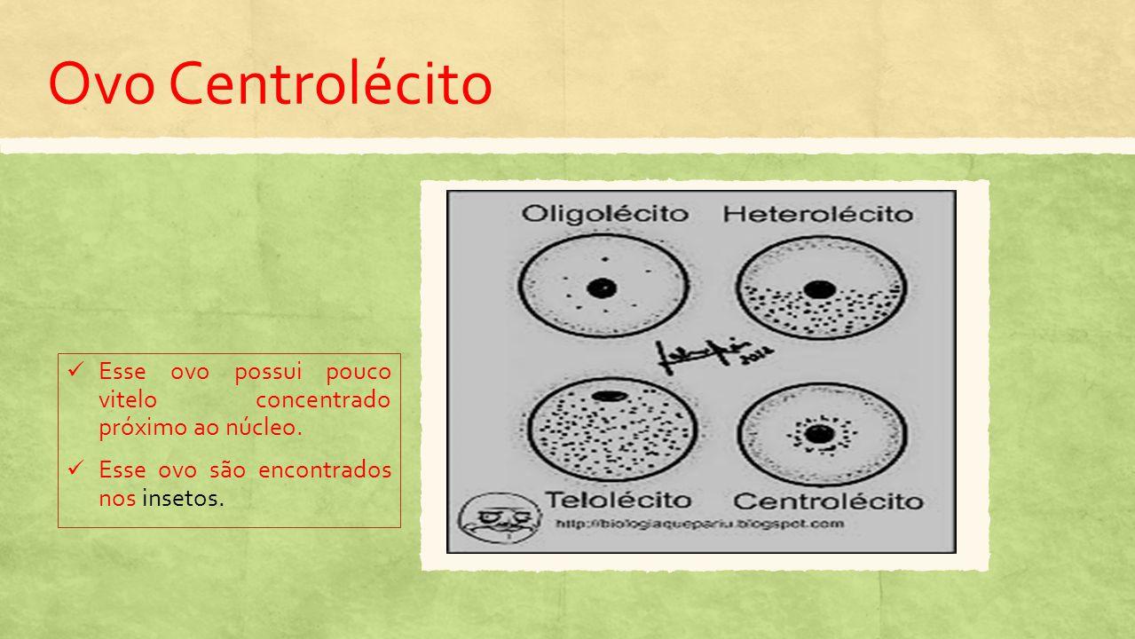 Ovo Centrolécito Esse ovo possui pouco vitelo concentrado próximo ao núcleo.